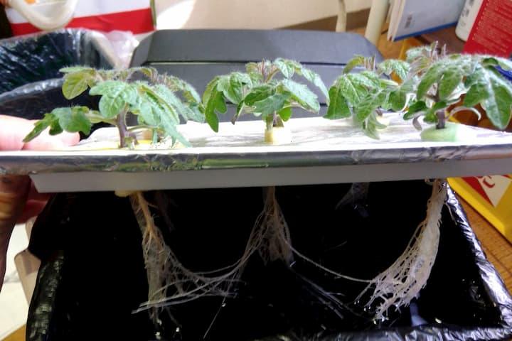水耕栽培したレジナ