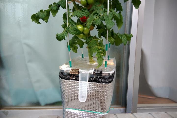 深型水耕栽培容器(マイバージョン)で栽培している画像