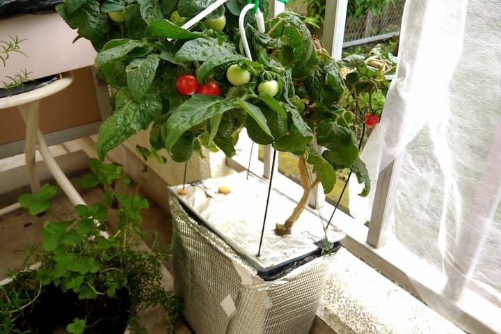 深型水耕栽培容器でプリティーベルF2を栽培