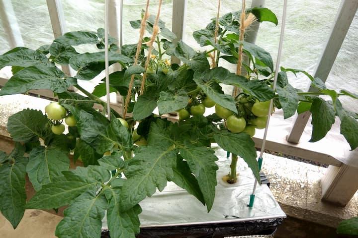 深型水耕栽培容器でプリティーベルF3を栽培