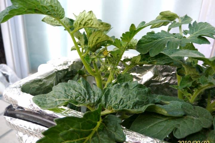 ドワーフトマトプリティーベルの苗の葉っぱ