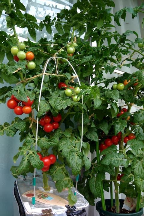 たくさんの実をつけたドワーフトマトプリティーベル(2020年栽培)