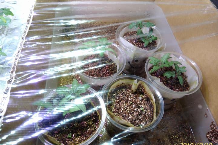 ドワーフトマトプリティーベル(F2)の育苗