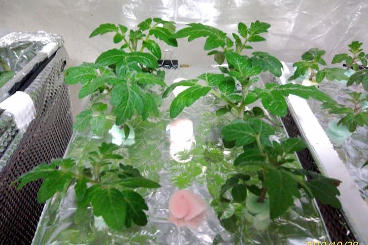 浅型水耕容器での育苗画像