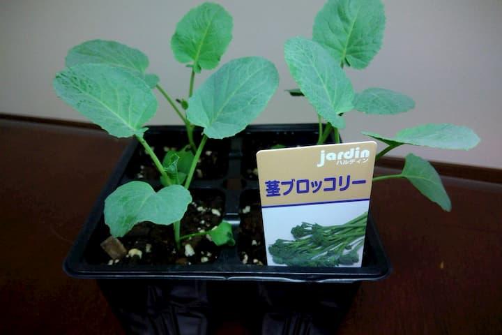 茎ブロッコリーの苗の画像