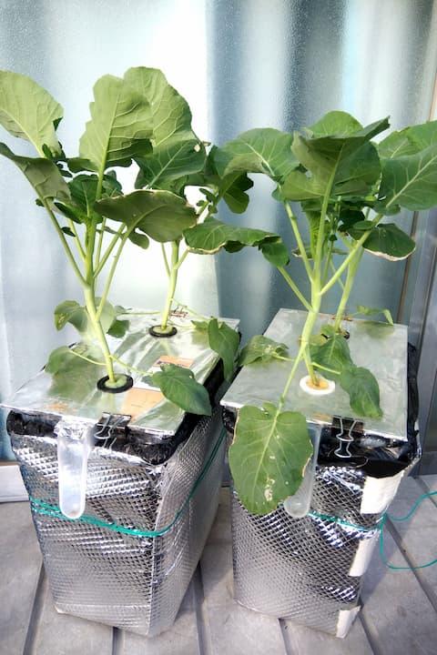 茎ブロッコリー栽培、容器を深型にしました
